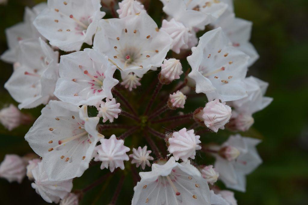 Mountain laurel wildflower