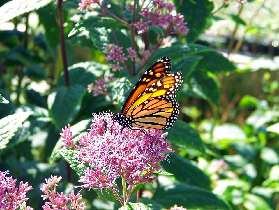 monarch butterfly on pink flower PA Wilds