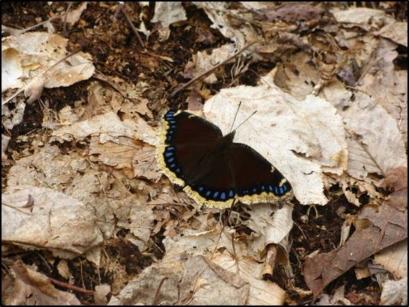 Leaf after death: mourning cloak butterfly by Jason Ryndock