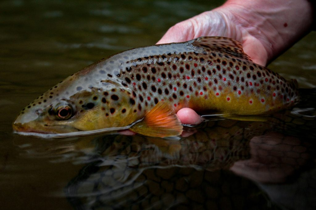Brown trout photo by Wildwood Outfitters