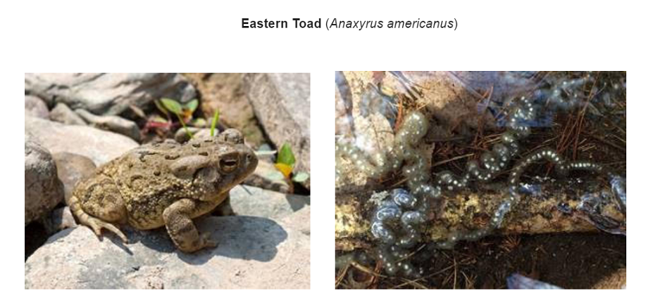 eastern toad
