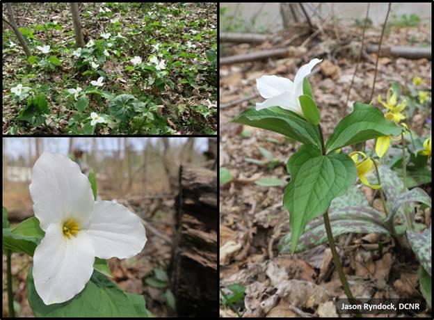 Trilliums flowers