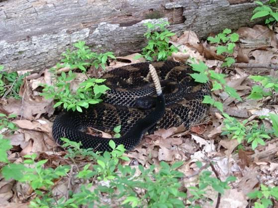 Black phase rattlesnake