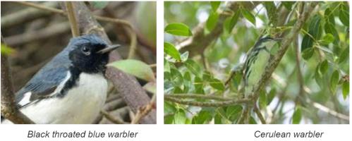 Forest birds: Black throated warbler and cerulean warbler
