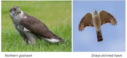 Forest birds: Northern Goshawk and shinned hawk