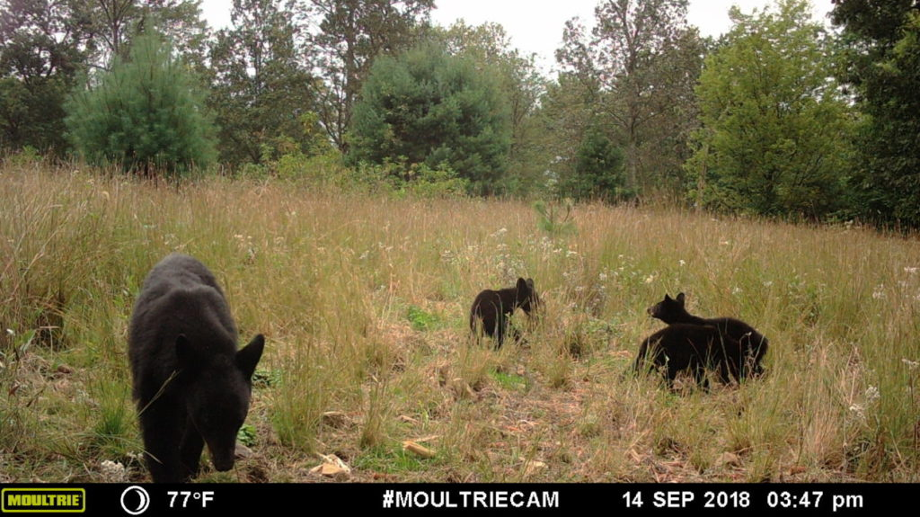 Game camera captures - black bear