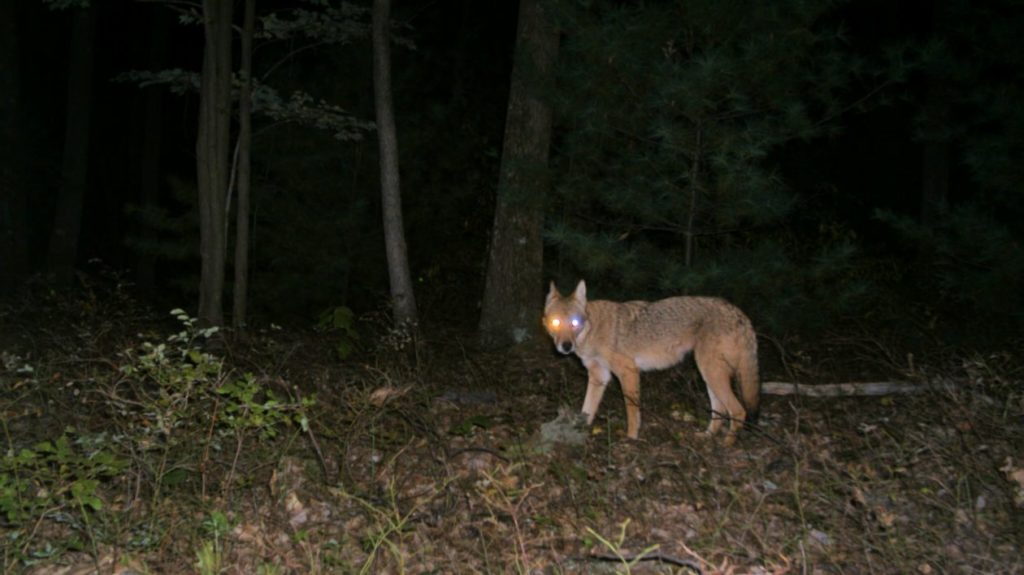 Game camera captures - coyote