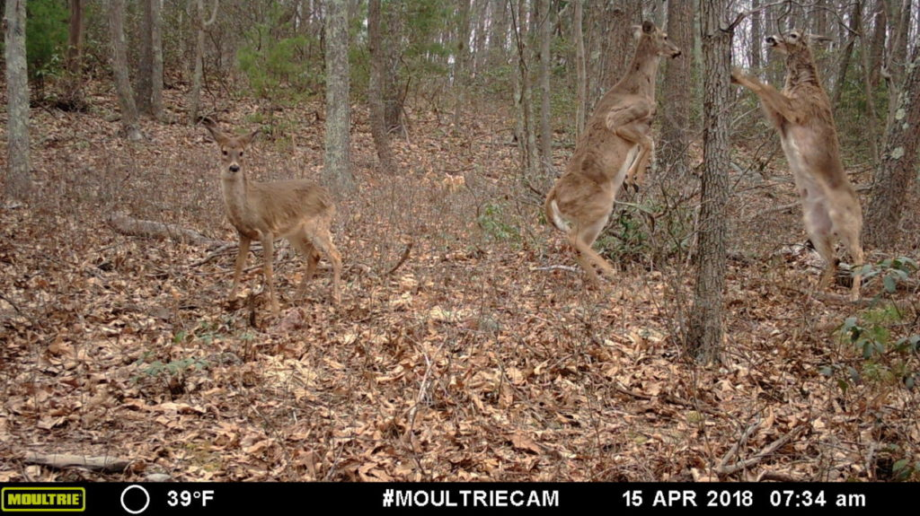 Game camera captures - deer boxing