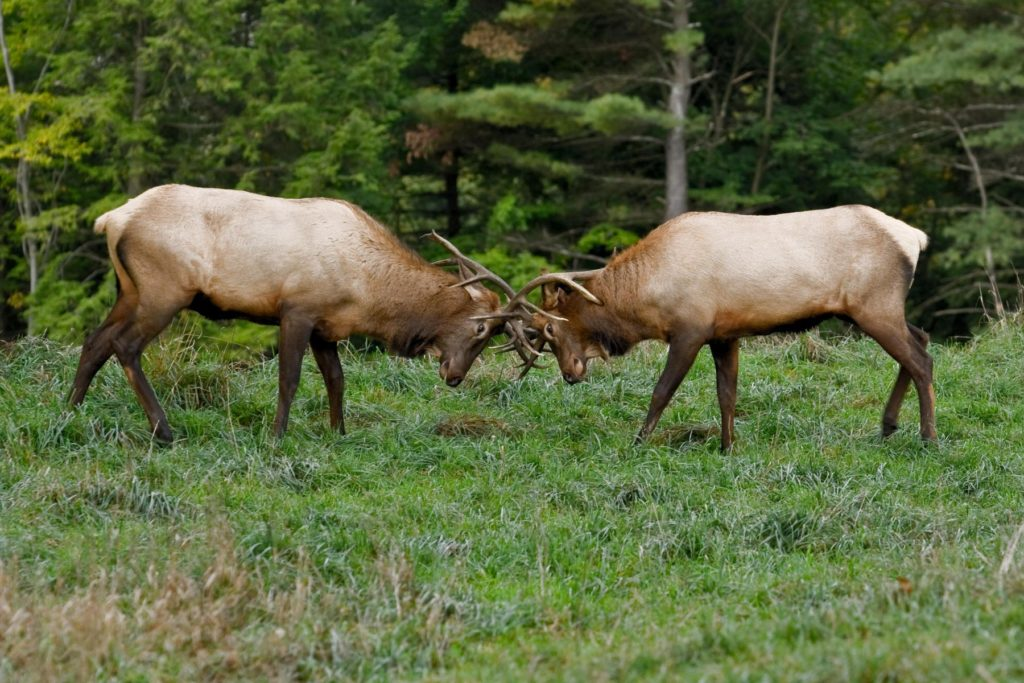 Elk photography by Paul Staniszewski