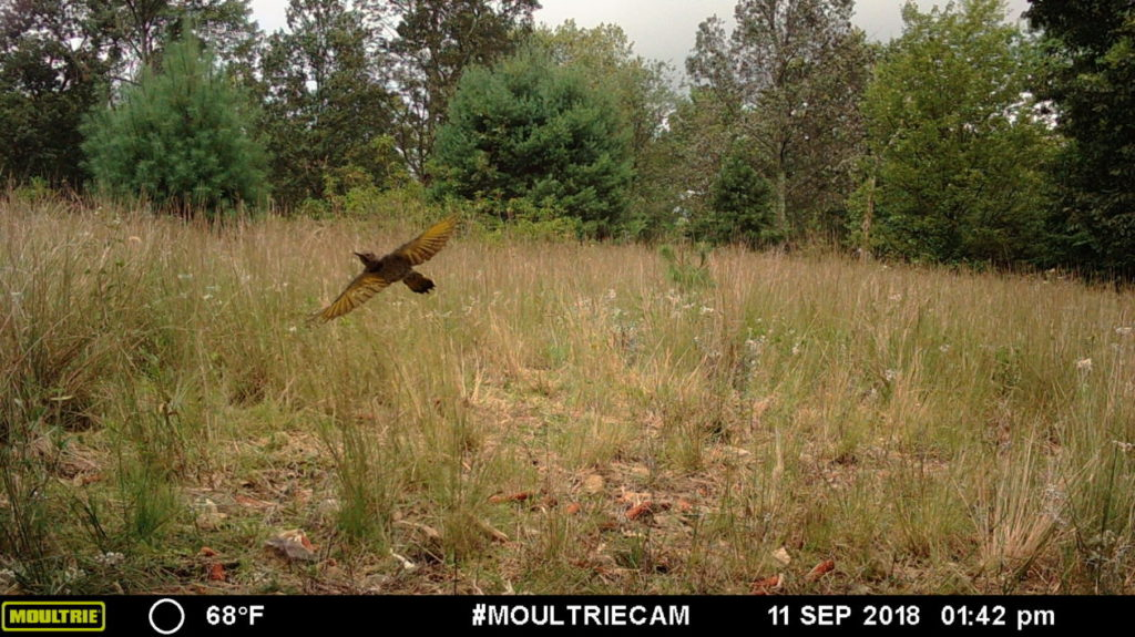 Game camera captures - northern flicker