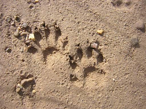 Animal tracks - bear