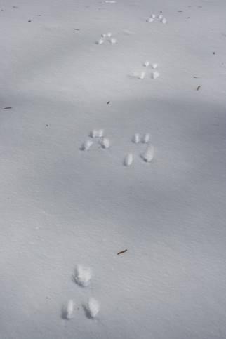 Animal tracks - squirrel