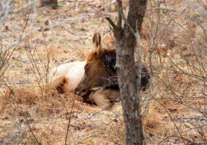 sleeping calf by Ray Hunt PA Wilds